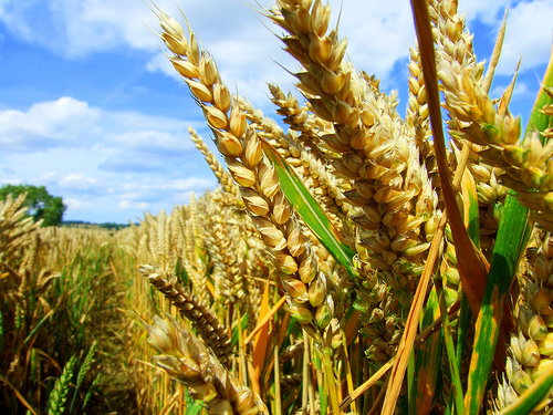 Companies Put Restrictions On Research Into Gm Crops